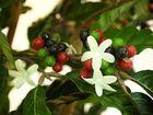 Kaffee Baum mit Früchten 120cm, Kunstpflanze