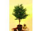 Olivenbaum 1-stämmig 160cm, Kunstpflanze