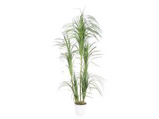 EUROPALMS Dracenabusch, 215cm, Kunstpflanze