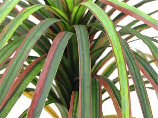 Europalms Dracena, rot-grün, 170cm, Kunstpflanze, 78 Blätter