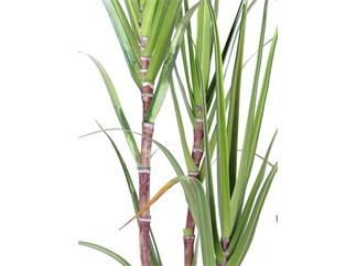 Europalms Zuckerrohr-Set, 170cm - Kunstpflanze