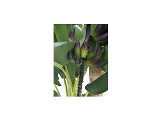 EUROPALMS Bananenbaum 250cm Kunstpflanze