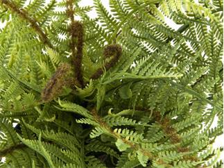Europalms Bostonfarn, deluxe, 37cm - Kunstpflanze