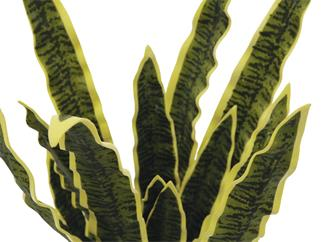Europalms Sansevieria (EVA), grün-gelb, 50cm