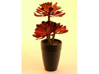 "Sukkulente ""Aeonium"" glutrot 3 Blattstände 28cm, Kunstpflanze"