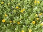 EUROPALMS Buchsmatte, künstlich, grün-gelb, 25x25cm